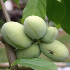 Asimina triloba – indián banán