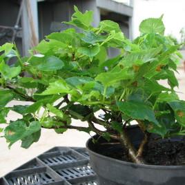 """Tilia cordata 'Monto' – miniatűr """"bonsai' hárs"""