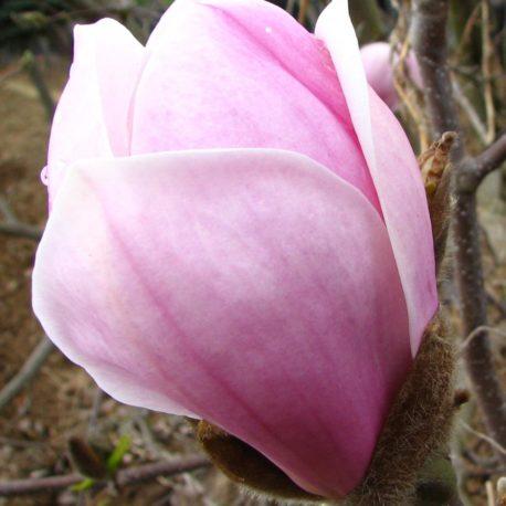 Magnolia soul. 'Sundew'