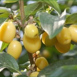Cornus mas 'Jantarnyj'  – sárga gyümölcsű húsos som
