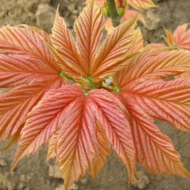 Acer pseudoplatanus 'Pink Pugget ' – rózsás hegyijuhar