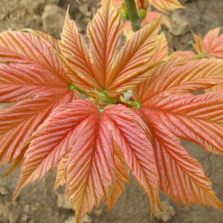 Acer pseudoplatanus 'Pink Puget'