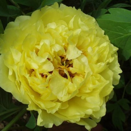 paeonia_yellow_crown