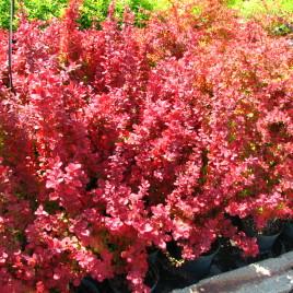 Berberis thumbergii 'Red Rocket' – oszlopos,  narancsvörös  borbolya