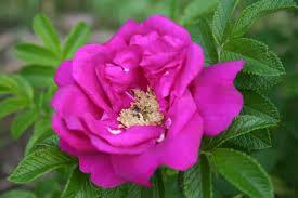 Rózsa rugosa 'Hansa' – teltvirágú, ráncoslevelű rózsa.