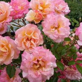 Rózsa 'Cubana' –