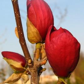 Magnolia   x       Genei  –     Zseni  liliomfa   Újdonság.