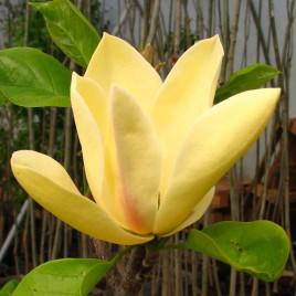 Magnolia  brookliniensis 'Sunspire' – sárga virágú, karcsú liliomfa ÚJDONSÁG!