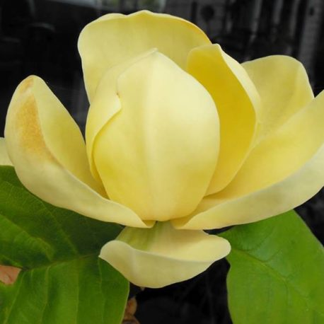 Magnolia x 'Honey Tulip'