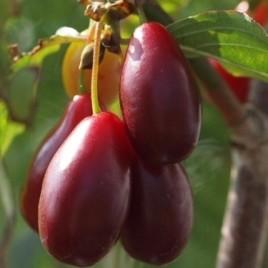 Cornus mas 'Slowianin' –  Slowianin nagy gyümölcsű húsos som ÚJDONSÁG!