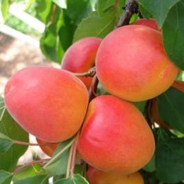 Prunus armeniana 'Reale di Imola',' Carmen', 'Hargrand' , 'Pincot'-  kajszi barack újdonságok!