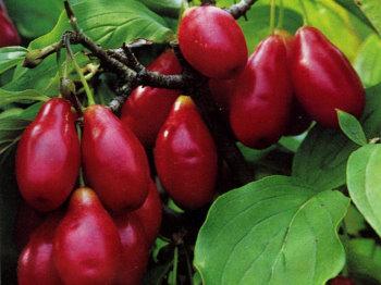 Cornus mas 'Raciborski' – nemes gyümölcsű húsos som ÚJDONSÁG!
