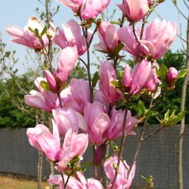 Magnolia x 'George Henry Kern' –  Apró virágú liliomfa