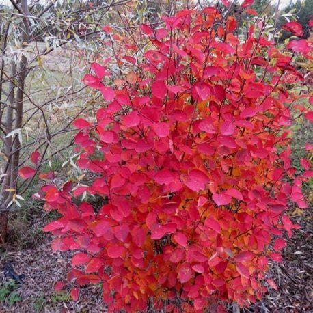Amelanchier spicata őszi lomb