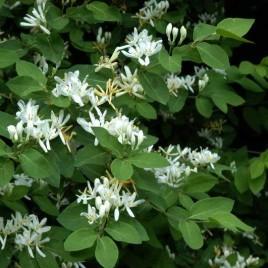 Lonicera xylosteum – Ükörke lonc