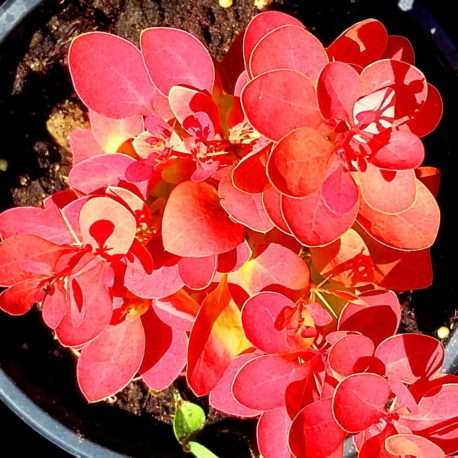 Berberis th Orange Ice'