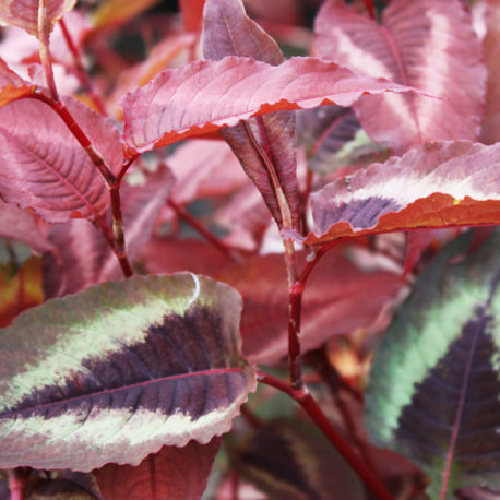 Persicaria Red Dragon x