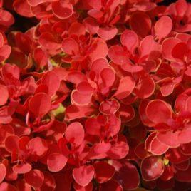 Berberis thumbergii 'Ruby Star' PBR-  Ruby Star  japán borbolya ÚJDONSÁG