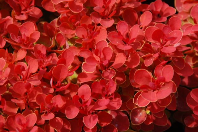 Berberis .th._Ruby_Star
