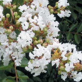 Lagerstroemia indica 'Acoma'  – Fehér , indiai krepp mirtusz