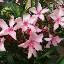 Nerium oleander 'Atlas nain de Tidili'- fagytűrő leander (!!!)