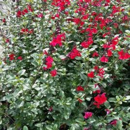 Salvia microphylla – tűz zsálya