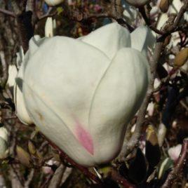 Magnolia Soulangiana 'Lennei Alba'-  Lennei Alba  liliomfa