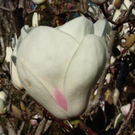 Magnolia-Lennei-Alba