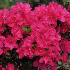 Rhododendron obtusum 'Purpur Kissen'-  bíbor párna havasszépe