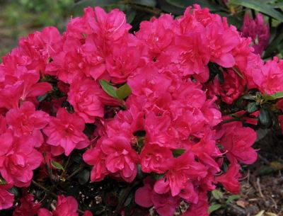 Rhododendron o. Purpur Kissen