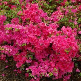 Rhododendron obtusum 'Canzonetta'  – havasszépe
