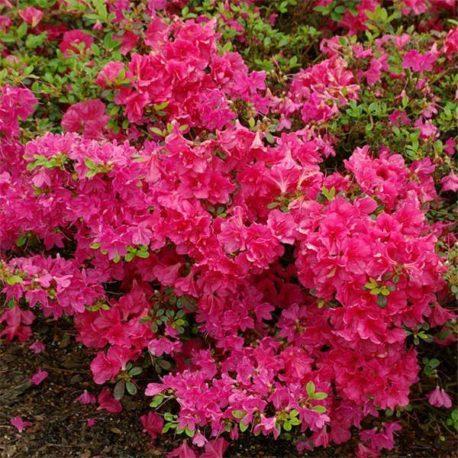 Rhododendron o.Canzonetta