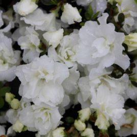 Rhododendron obtusum 'Feenkissen' – fehér havasszépe