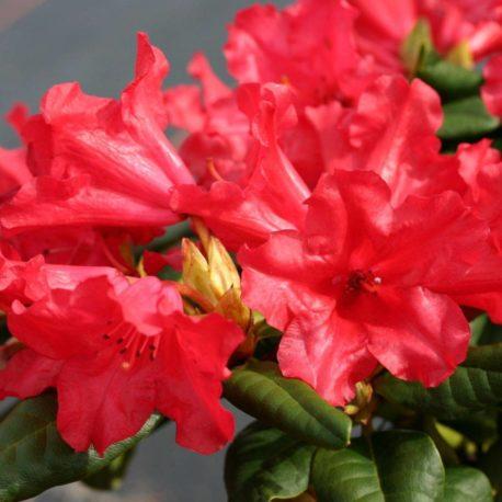 leuchtend rote Blüten, reich blühend