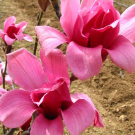 Magnolia x 'Margaret Helen' –  Margaret Helen liliomfa