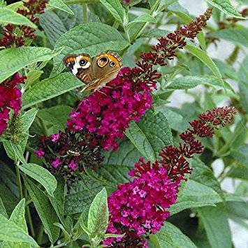 Buddleya Miss Ruby