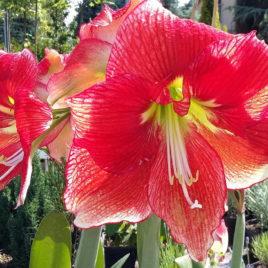 Amaryllis hybrida  – Hölgyliliom fajta