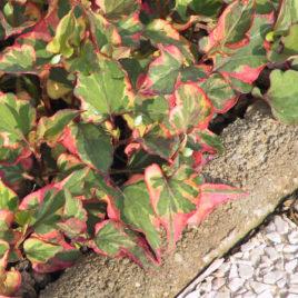 Houttuynia cordata 'Chameleon'  –   Kaméleon virág