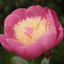 Paeonia lactiflora 'Bowl of Beauty' –  Évelő pünkösdirózsa