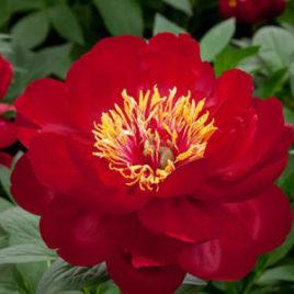 Paeonia  lactiflora 'Buckeye Belle' – bordó pünkösdi rózsa ÚJDONSÁG!