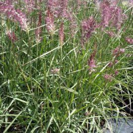 Penisetum orientale  –  Keleti tollborzfű