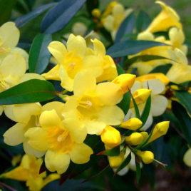 """Gelsemium sempervirens – sárga """"jázmin"""""""