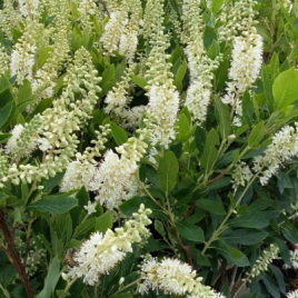 Clethra alnifolia 'Hummingbird' –  Hummingbird  égerlevelű borsfa