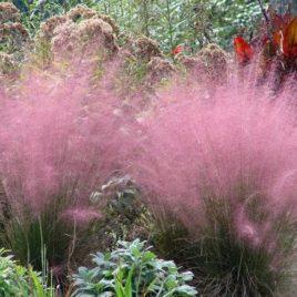 Muhlembergia capillaris –  rózsaszín Texas fű