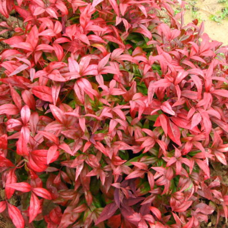 Nandina domestica ' Fire Power""